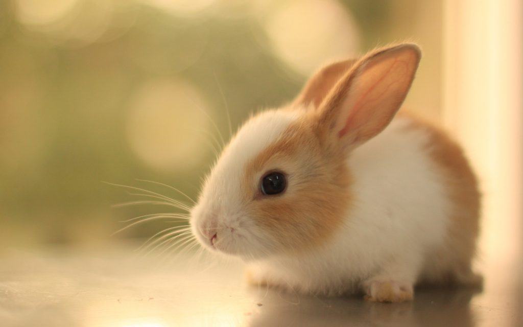 Baby Bunny Wallpaper