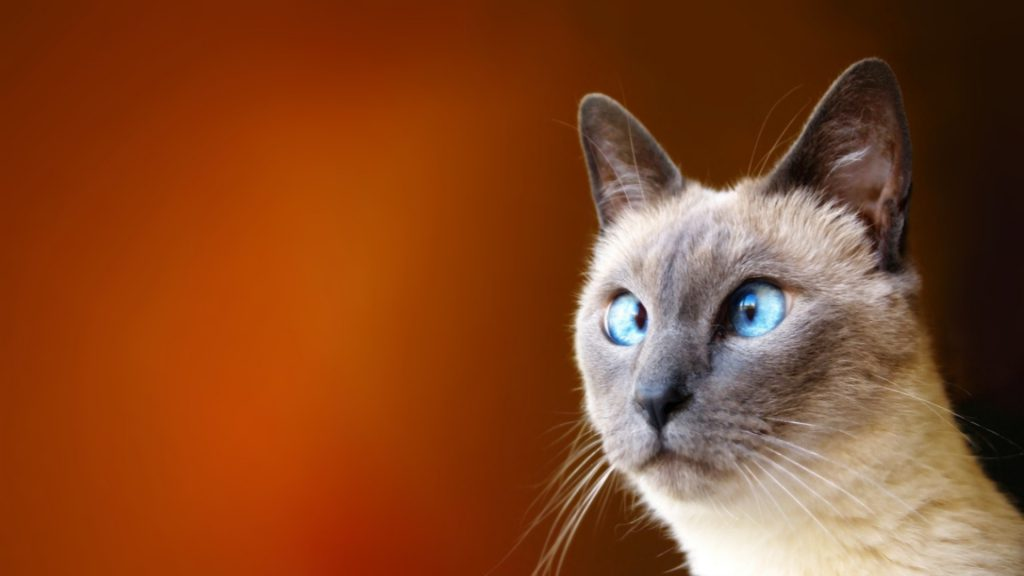 Cross-eyed Cat Wallpaper - Funny Wallpaper - Funny Background