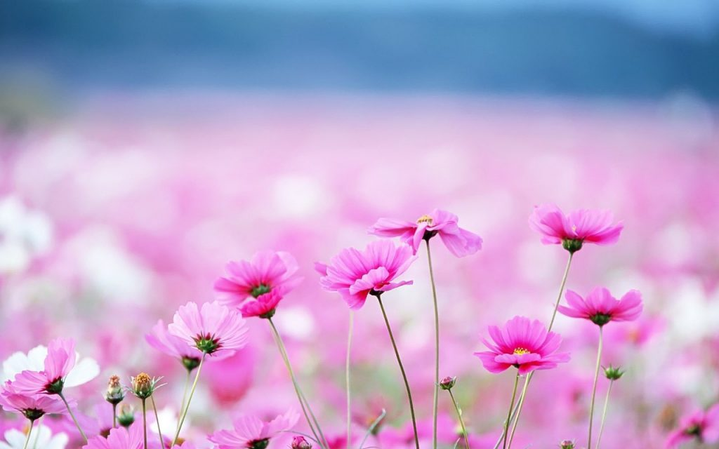 Pink Flowers - Cute Wallpaper Background
