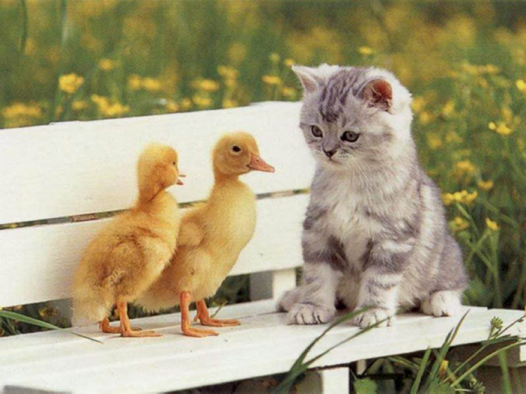 Cute Kitten With Baby Ducks on a Bench - Wallpaper - Background