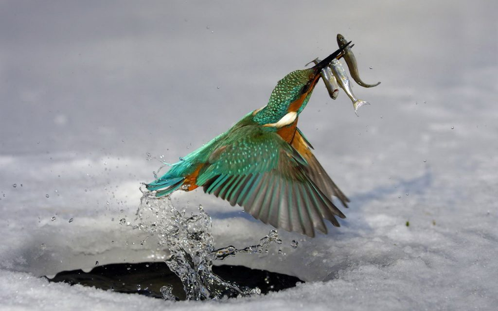 Ice Fishing Bird - HD tablet wallpaper