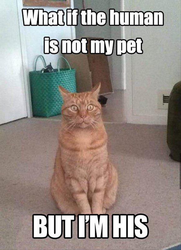 What If The Human Is Not My Pet? - funny cat animal picture