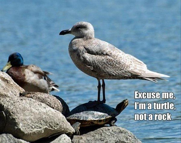 Excuse Me, I'm a Turtle - funny bird standing on a turtle