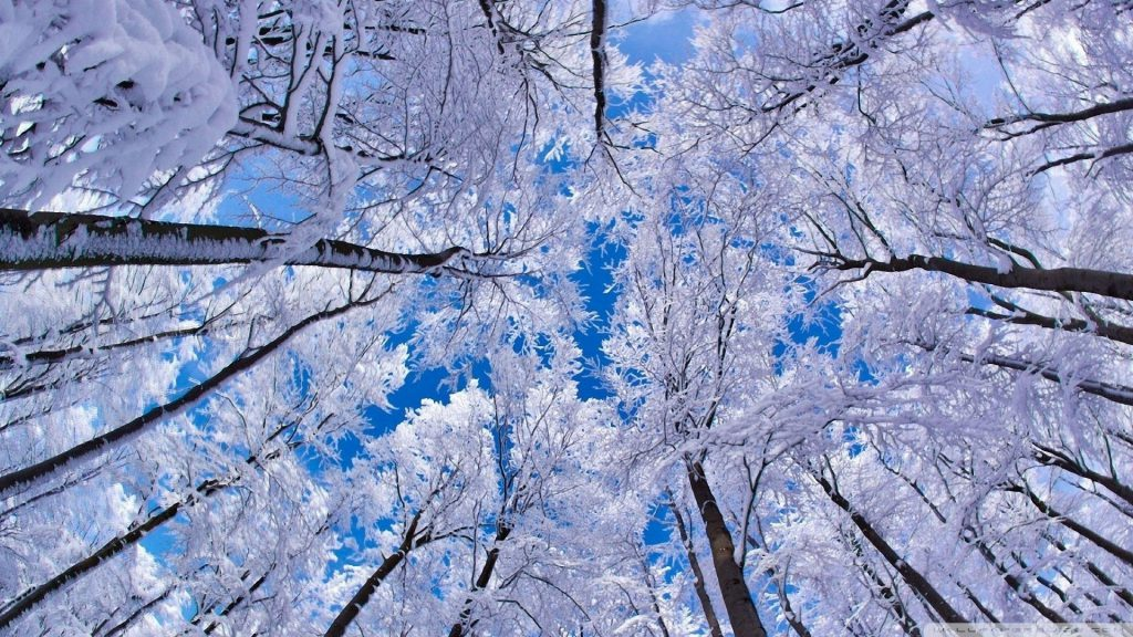 Looking Up Into The Trees - snow winter wallpaper background