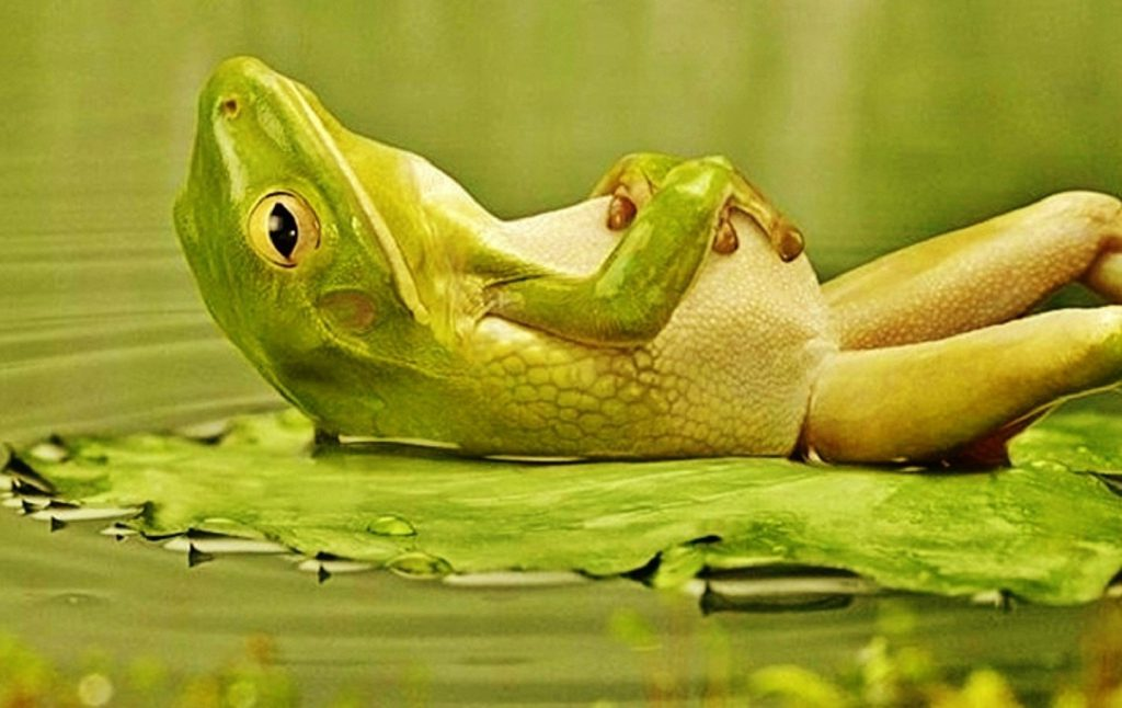 Lounging Frog Wallpaper - Funny Desktop Background