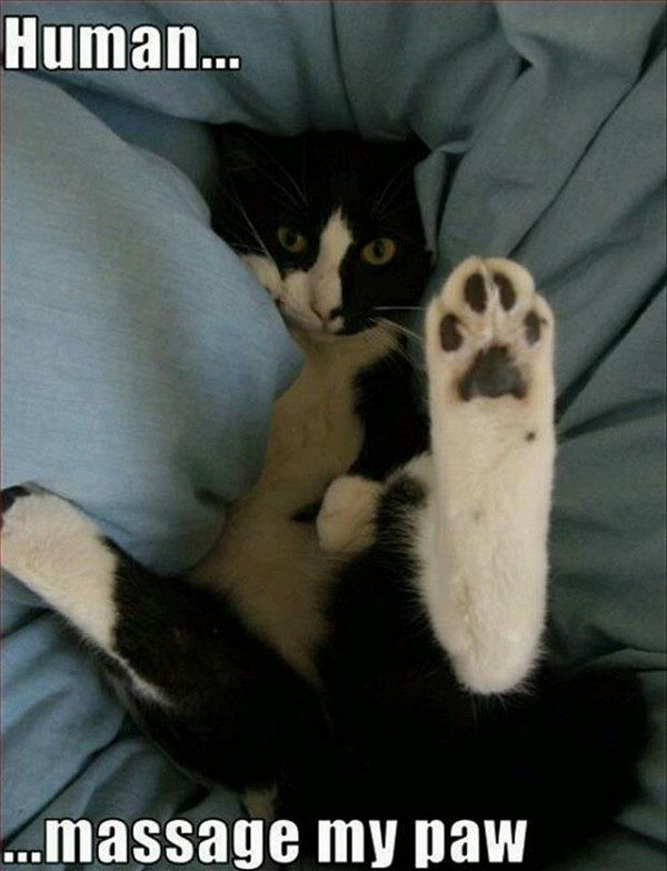 Human, Massage My Paw - funny cat animal picture