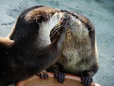 most adorable otters 1