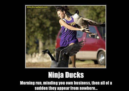 Ninja Ducks - funny meme caption photo attacked by duck