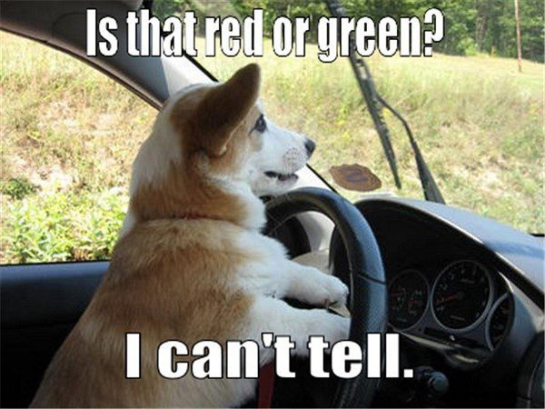 Is That Red Or Green? dog driving a car - Funny Animal Meme