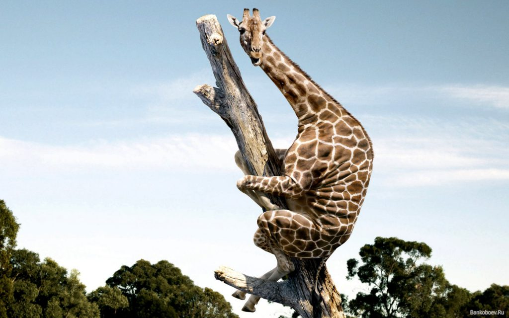 Giraffe Climbing Up A Tree - Funny Wallpaper