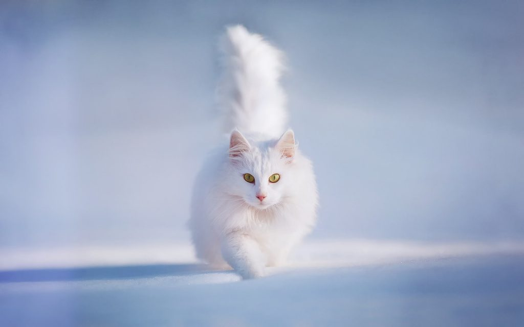 White Cat Running In The Snow - Winter Wallpaper Background