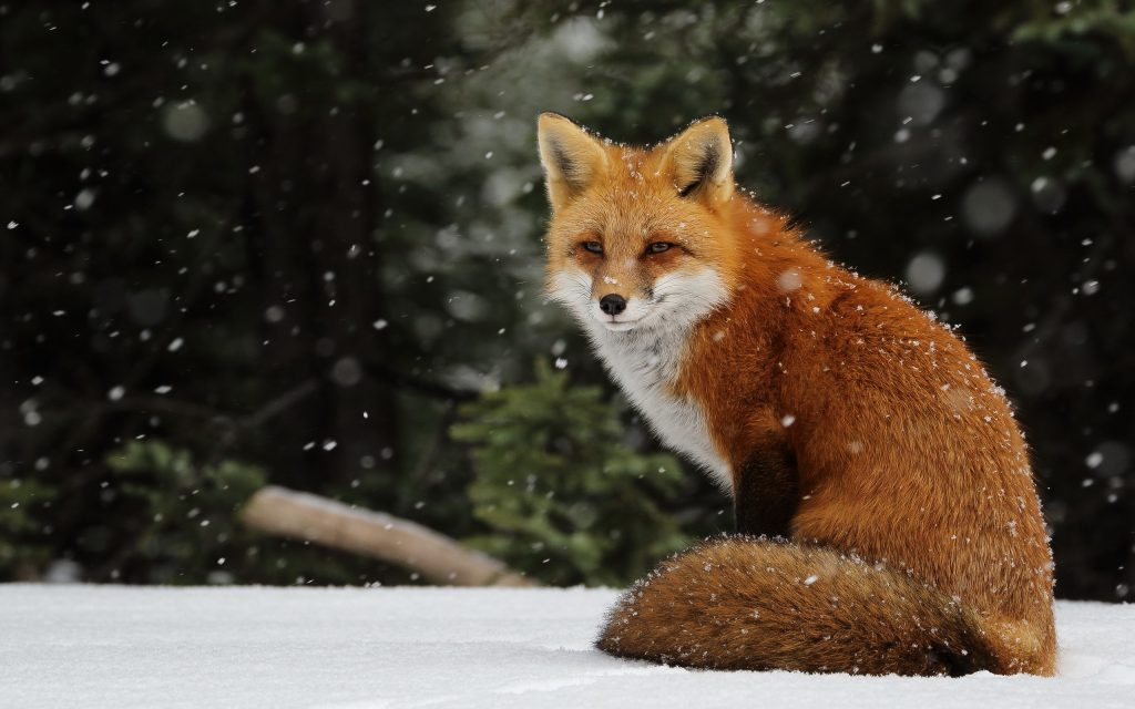 Snow Fox - fox on a snowy day - wallpaper background