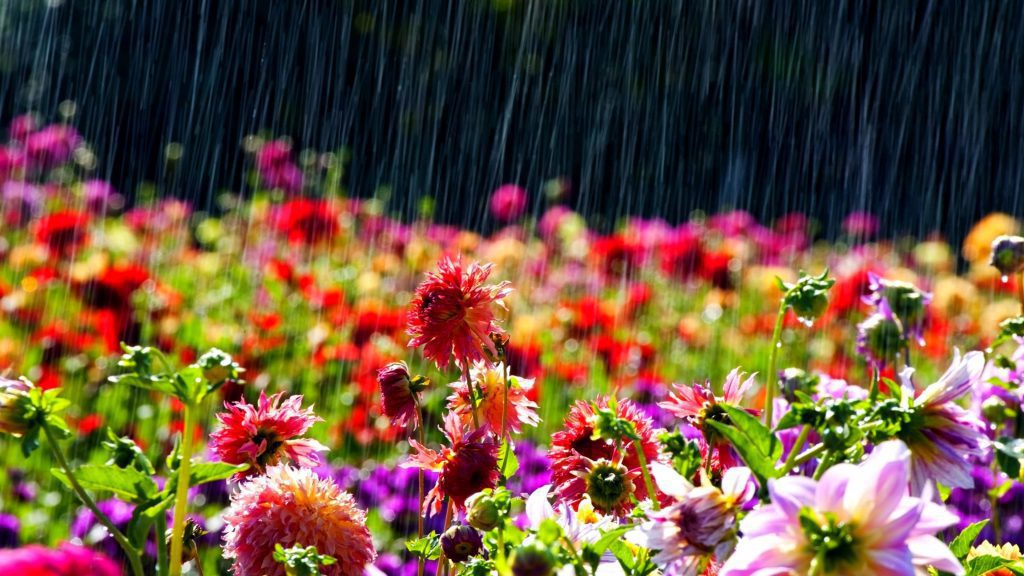 Spring Rain - blooming flowers on a rainy day