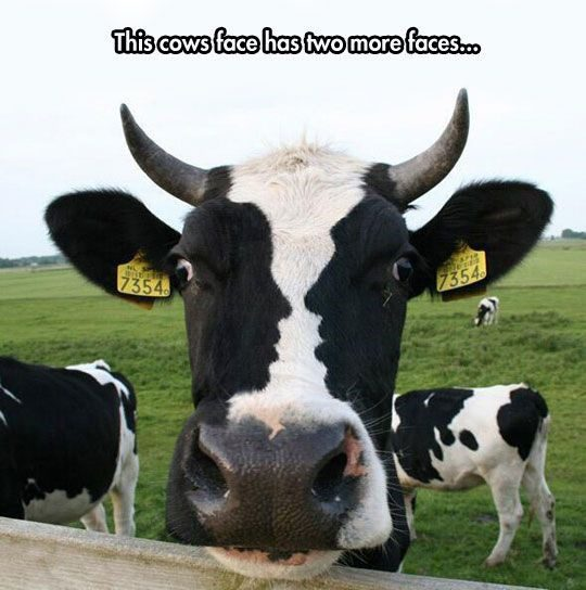 This Cow Has Two More Faces - really funny picture