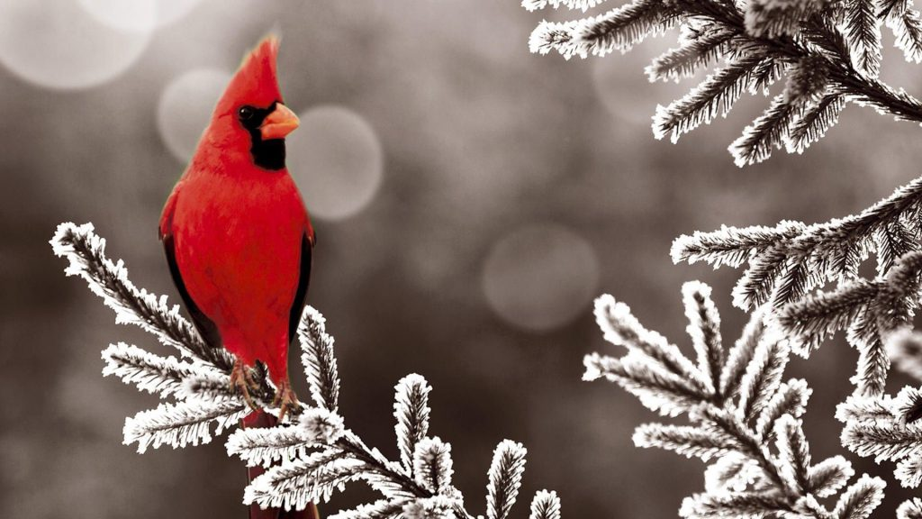 Cardinal In The Winter - bird sitting on  a snowy branch - winter wallpaper background