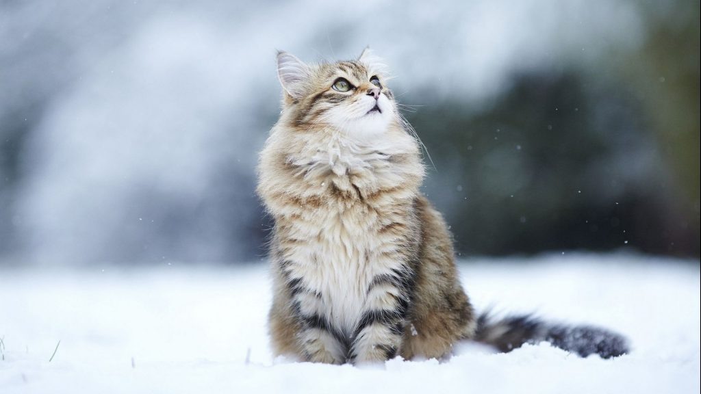 Cat sitting in the snow - wallpaper desktop background
