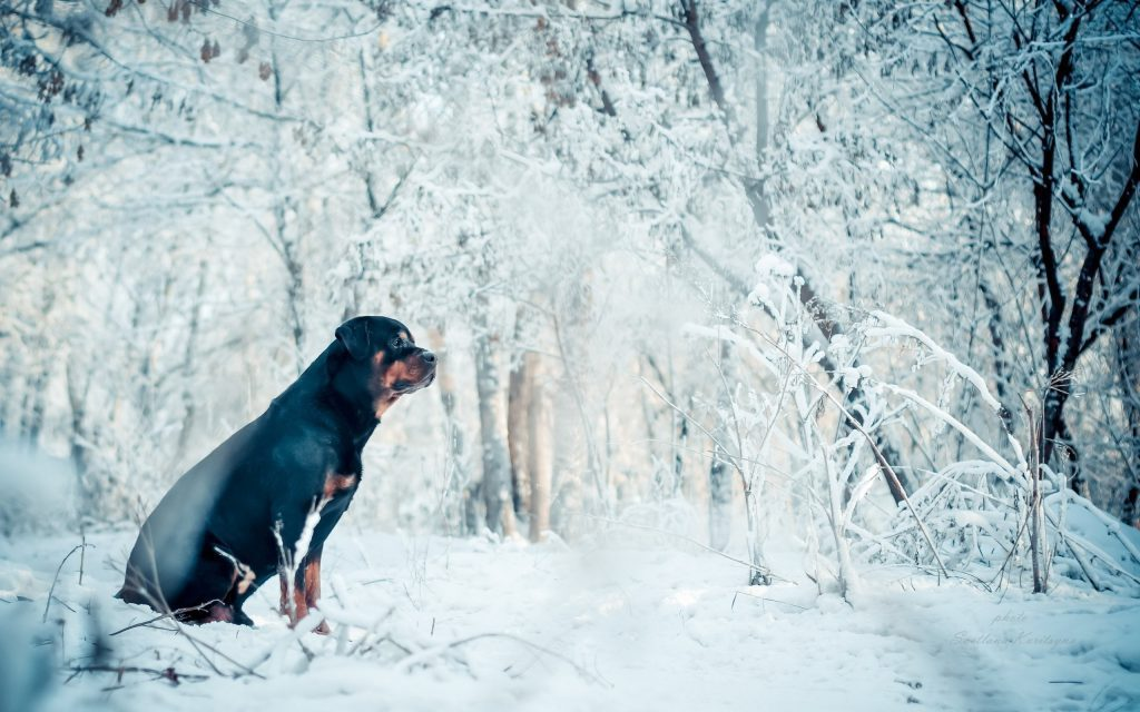 Dog In The Snow - winter wallpaper desktop background