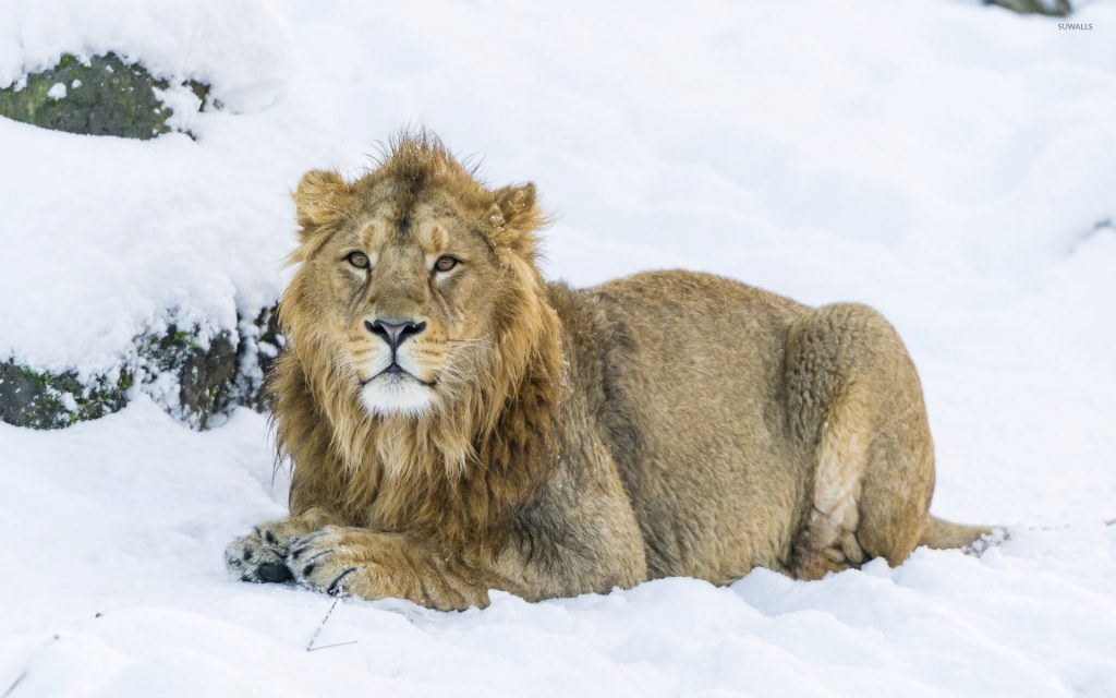 Lion In The Snow - Winter Wallpaper