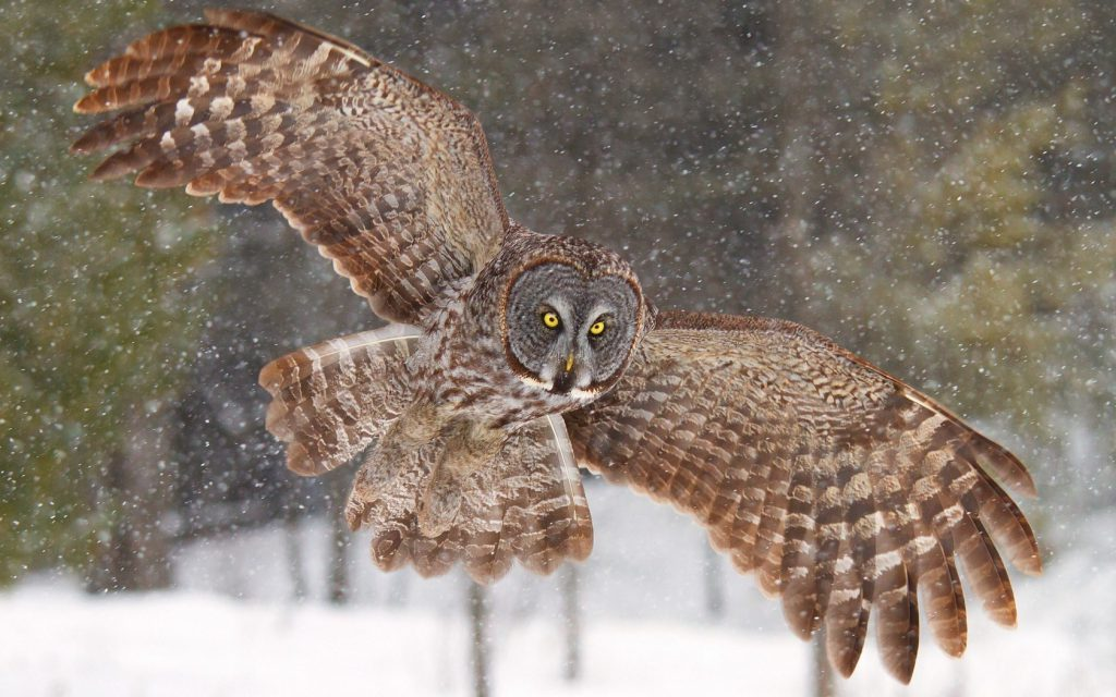 Owl In The Snow - owl flying wallpaper and desktop background
